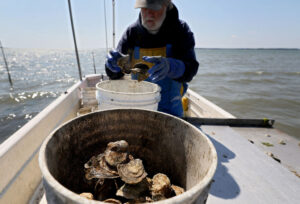 Tommy sorts through oysters from his beds on the York River